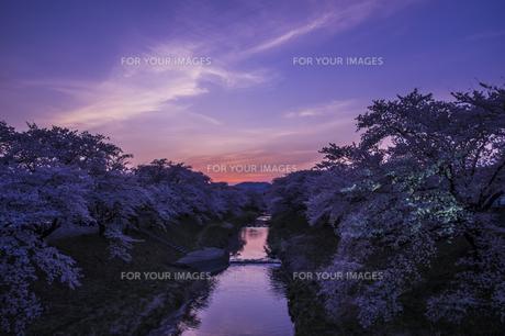 藤田川の桜並木の写真素材 [FYI01192568]