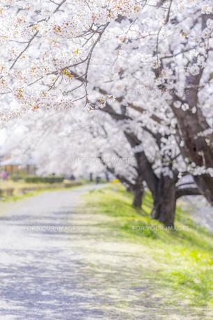 藤田川の桜並木の写真素材 [FYI01192571]