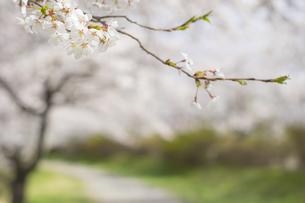 藤田川の桜並木の写真素材 [FYI01192574]