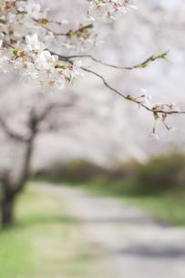 藤田川の桜並木の写真素材 [FYI01192575]