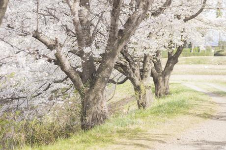 藤田川の桜並木の写真素材 [FYI01192576]