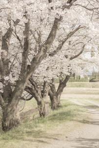 藤田川の桜並木の写真素材 [FYI01192577]