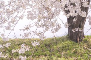 藤田川の桜並木の写真素材 [FYI01192580]