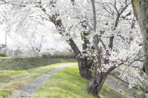 藤田川の桜並木の写真素材 [FYI01192581]