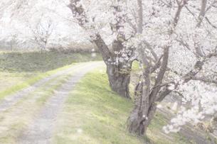 藤田川の桜並木の写真素材 [FYI01192582]