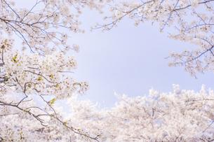 藤田川の桜並木の写真素材 [FYI01192583]