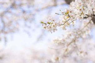 藤田川の桜並木の写真素材 [FYI01192587]
