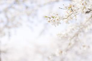 藤田川の桜並木の写真素材 [FYI01192588]