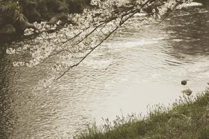 藤田川の桜並木の写真素材 [FYI01192590]