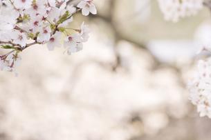 藤田川の桜並木の写真素材 [FYI01192592]