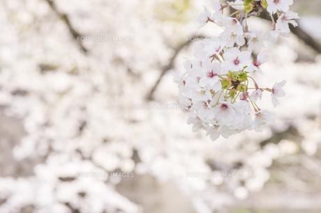 藤田川の桜並木の写真素材 [FYI01192593]