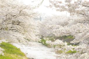 藤田川の桜並木の写真素材 [FYI01192594]