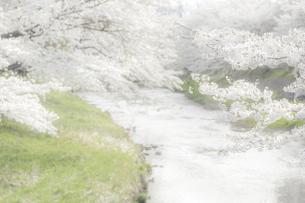 藤田川の桜並木の写真素材 [FYI01192595]
