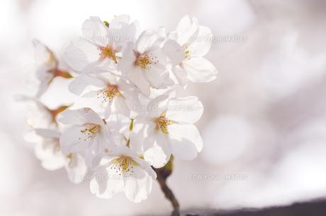 藤田川の桜並木の写真素材 [FYI01192599]