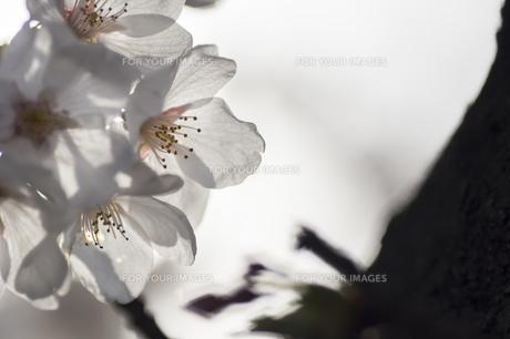 藤田川の桜並木の写真素材 [FYI01192602]