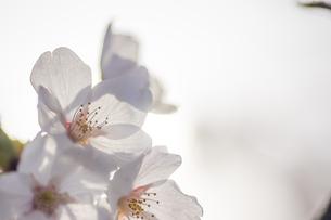 藤田川の桜並木の写真素材 [FYI01192603]
