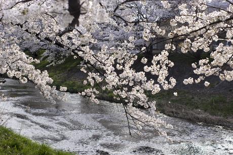 藤田川の桜並木の写真素材 [FYI01192607]