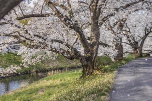 藤田川の桜並木の写真素材 [FYI01192608]