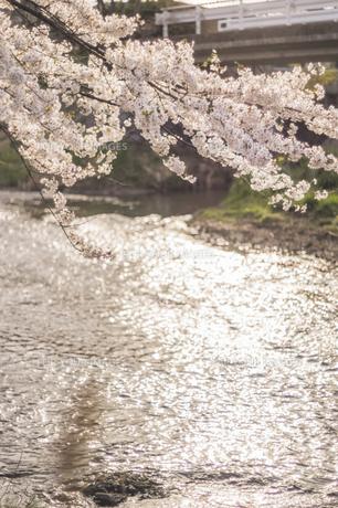 藤田川の桜並木の写真素材 [FYI01192610]