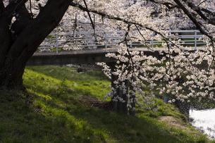 藤田川の桜並木の写真素材 [FYI01192614]