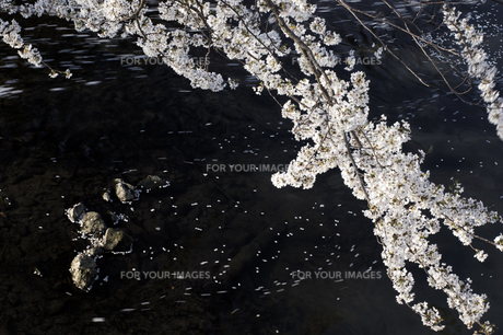 藤田川の桜並木の写真素材 [FYI01192615]