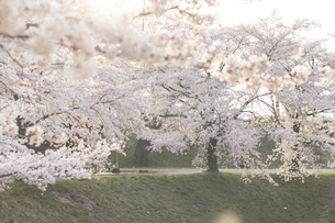 藤田川の桜並木の写真素材 [FYI01192619]