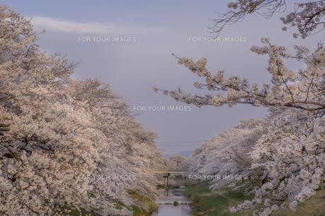 藤田川の桜並木の写真素材 [FYI01192620]