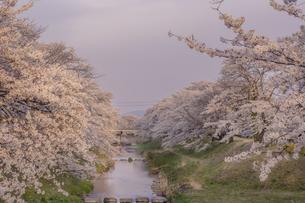 藤田川の桜並木の写真素材 [FYI01192621]