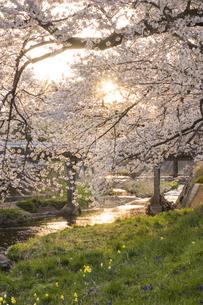 藤田川の桜並木の写真素材 [FYI01192622]