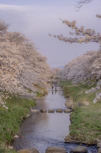 藤田川の桜並木の写真素材 [FYI01192625]