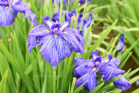 菖蒲の花の写真素材 [FYI01192775]