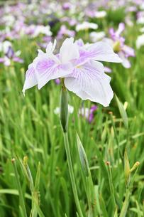 菖蒲の花の写真素材 [FYI01192777]