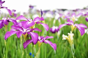 菖蒲の花の写真素材 [FYI01192779]