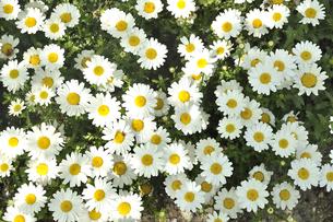 一面の白い花の写真素材 [FYI01192956]