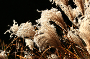 黄金色に輝く秋のススキの写真素材 [FYI01193023]