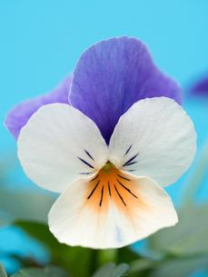 ビオラの花の写真素材 [FYI01193177]