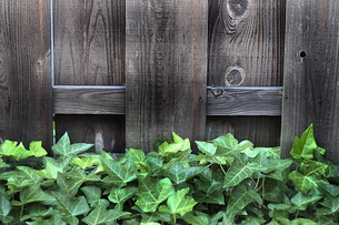 木塀の前のツタの群生の写真素材 [FYI01193266]