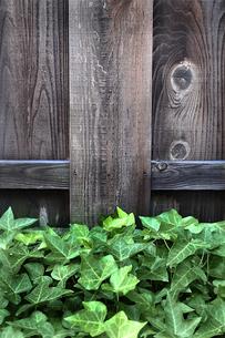 木塀の前のツタの群生の写真素材 [FYI01193267]