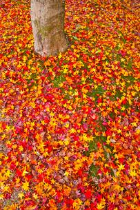 散り紅葉の写真素材 [FYI01193272]