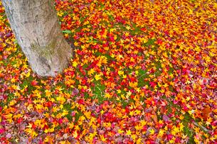 散り紅葉の写真素材 [FYI01193273]
