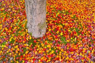 散り紅葉の写真素材 [FYI01193274]