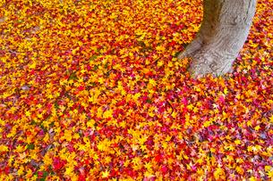 散り紅葉の写真素材 [FYI01193275]