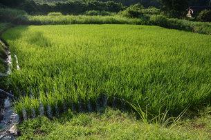 イネ栽培・水田の光景の写真素材 [FYI01193359]