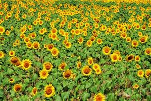 ひまわり / 季節の素材・夏の写真素材 [FYI01193361]