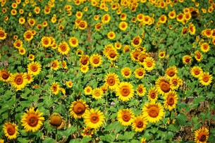 ひまわり / 季節の素材・夏の写真素材 [FYI01193362]