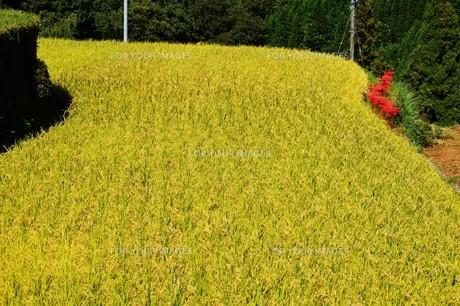 日本の棚田100選・福岡県うきは市「つづら棚田」の写真素材 [FYI01193368]