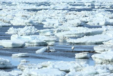 流氷とタンチョウの写真素材 [FYI01193408]