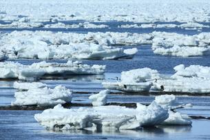 流氷とタンチョウの写真素材 [FYI01193422]