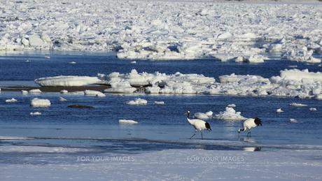 流氷とタンチョウの写真素材 [FYI01193425]