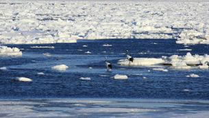 流氷とタンチョウの写真素材 [FYI01193426]
